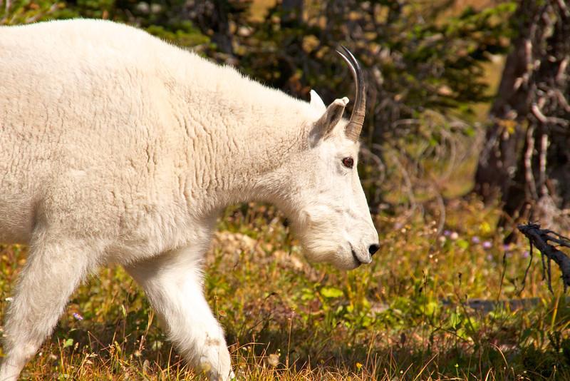 Mountain goat at Hidden Lake Overlook