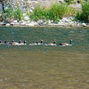 There go the geese on the Missouri River
