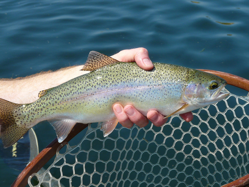 Another trout closeup