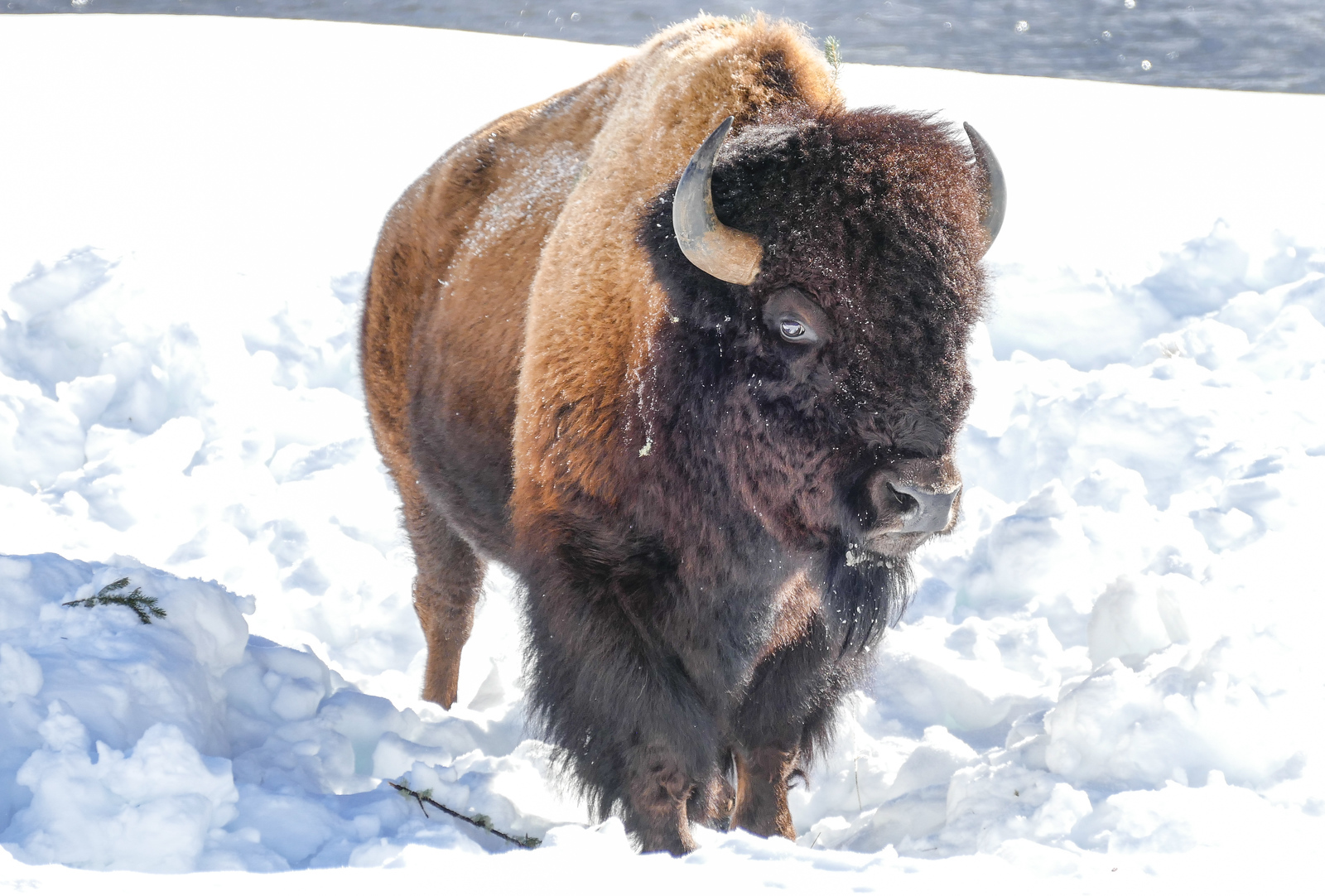 A bison in the snow at Yellowstone National Park.