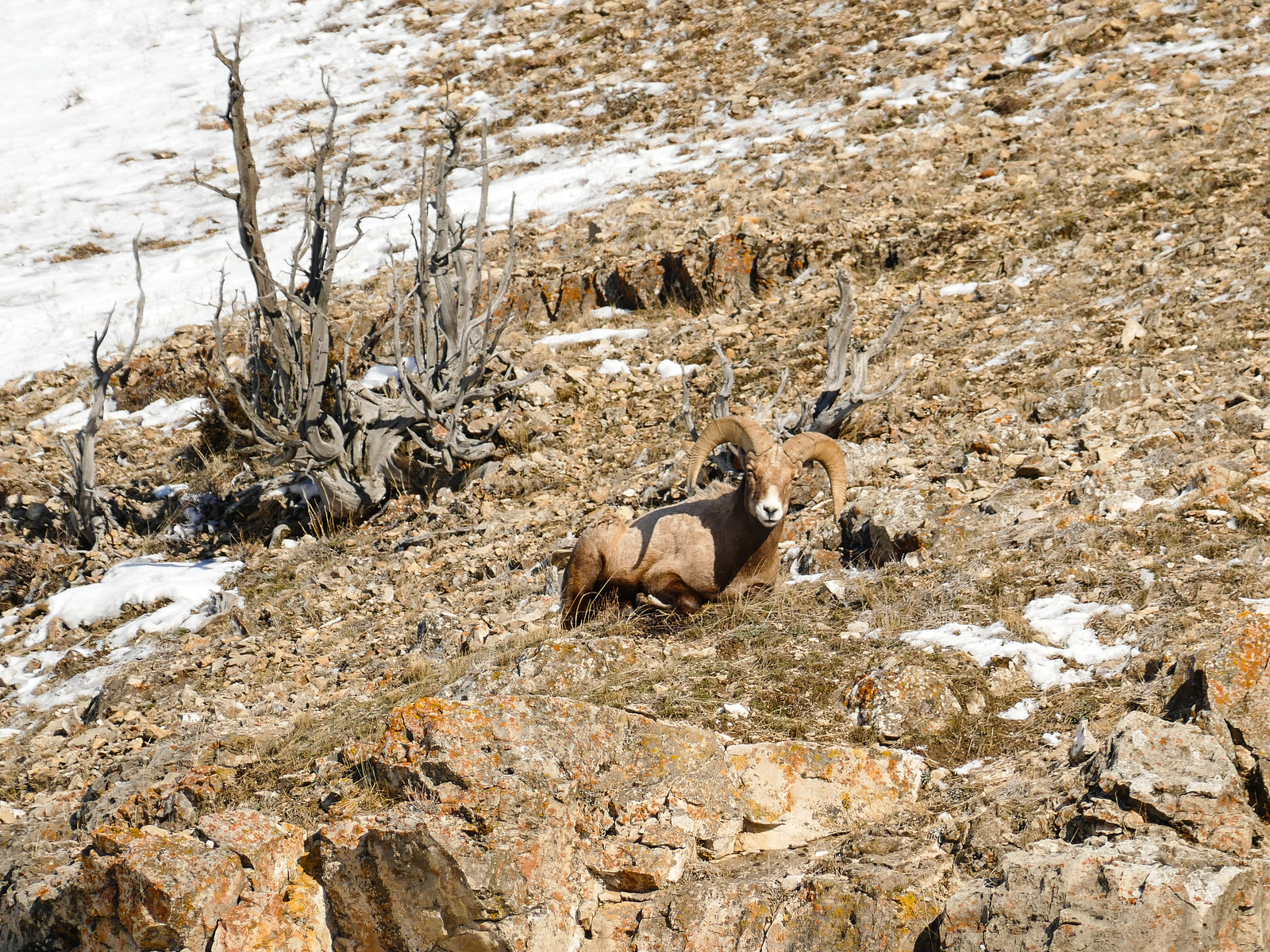 Bighorn sheep on the side of a hill during a Lamar Valley Yellowstone winter trip.