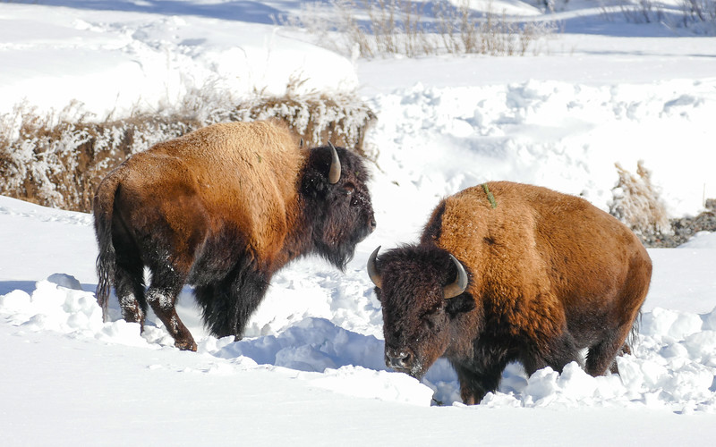 Two bison in the snow on a winter visit to Lamar Valley in Yellowstone National Park.