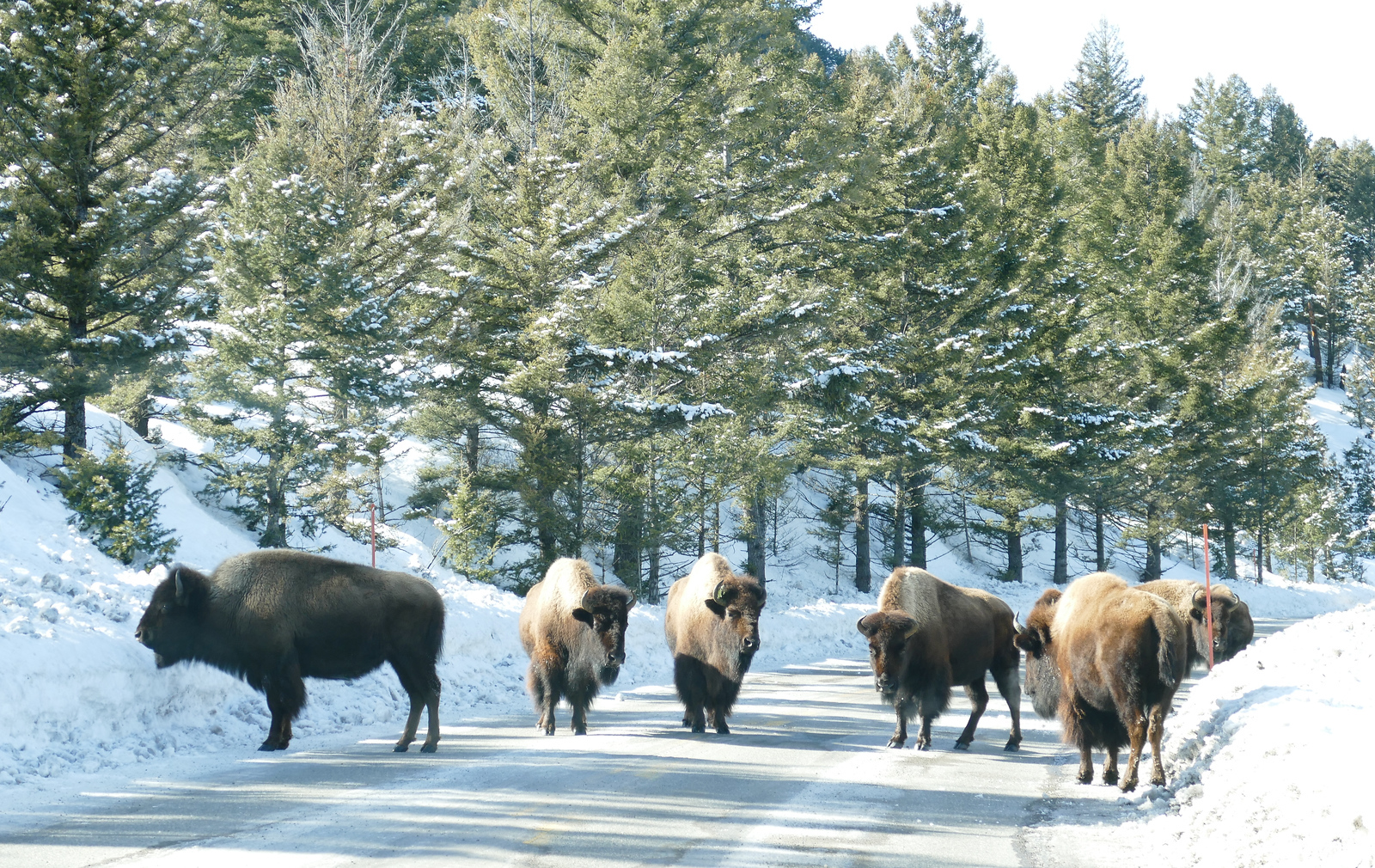 You're sure to see bison on a snow-covered road when visiting Yellowstone in winter.