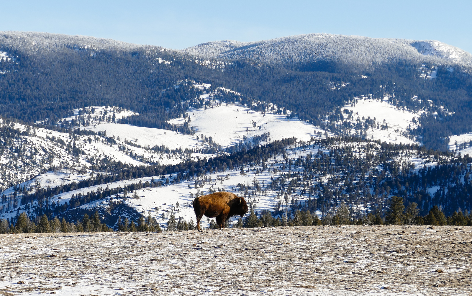 Photograph of a bison on a winter visit to Yellowstone National Park.
