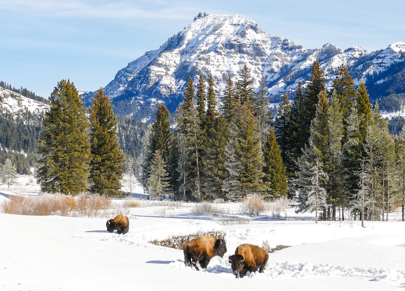 buffalo in a snow covered landscape with mountains in the backgroun.