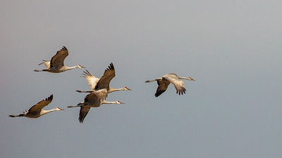 four flying Sandhill Cranes