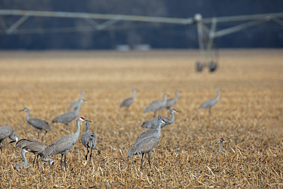 Sandhill Cranes in corn stubble with irrigator