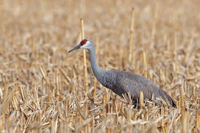 magnificent Sandhill Crane