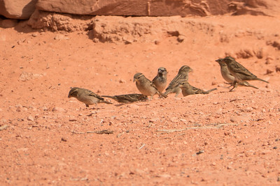 Desert Sparrows
