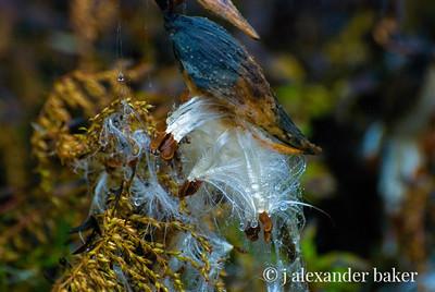 Milkweed Seeds in Rain