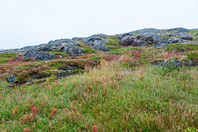 Beautiful flora in Red Bay, Newfoundland and Labrador, Canada