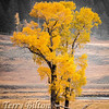 Yellows of Yellowstone