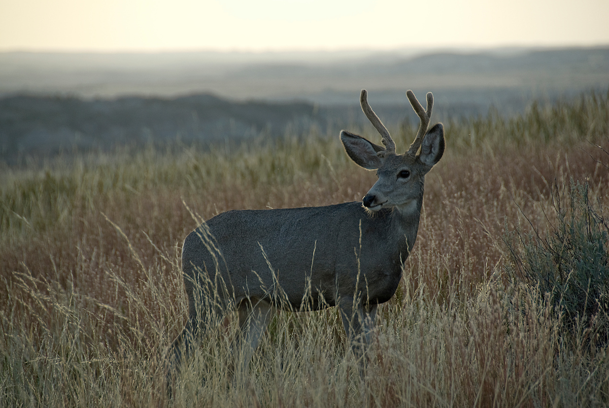 Mule deer, Theodore Roosevelt National Park, North Dakota