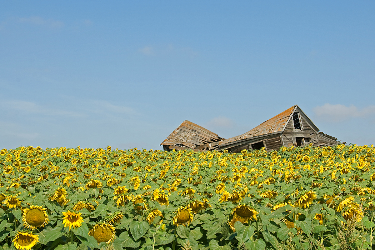 An abandoned house in a sunflower field in North Dakota