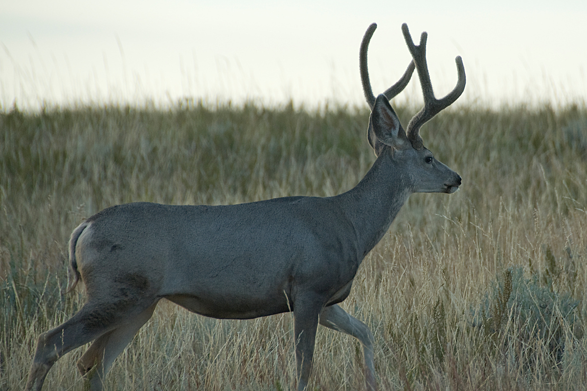 Mule deer, Theodore Roosevelt NP, North Dakota