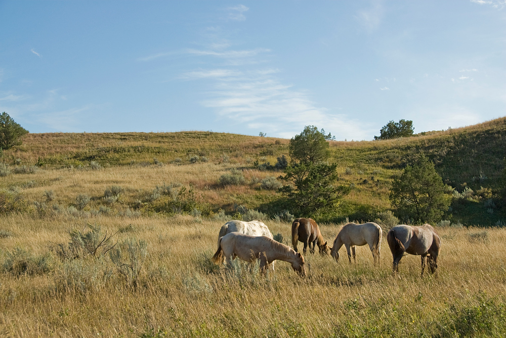 Wild horses in Theodore Roosevelt NP, North Dakota