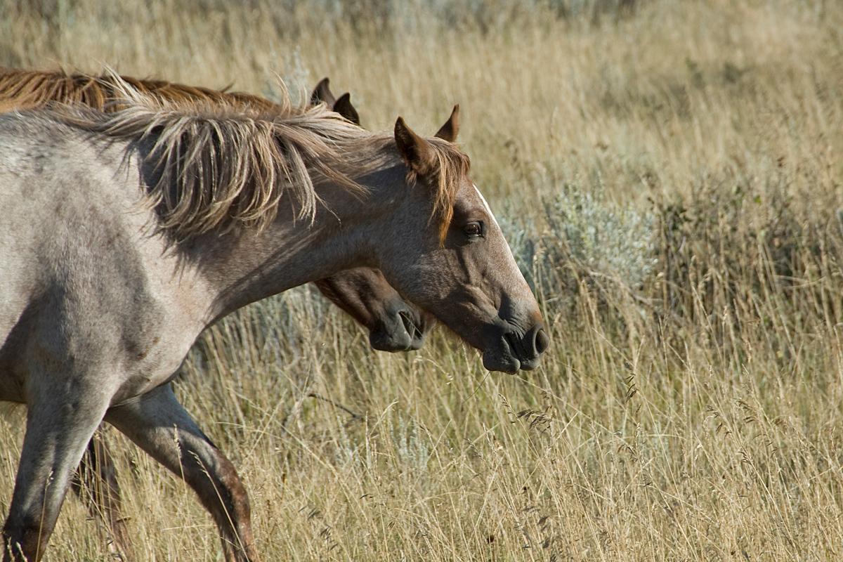 Wild Horses, Theodore Roosevelt NP, North Dakota