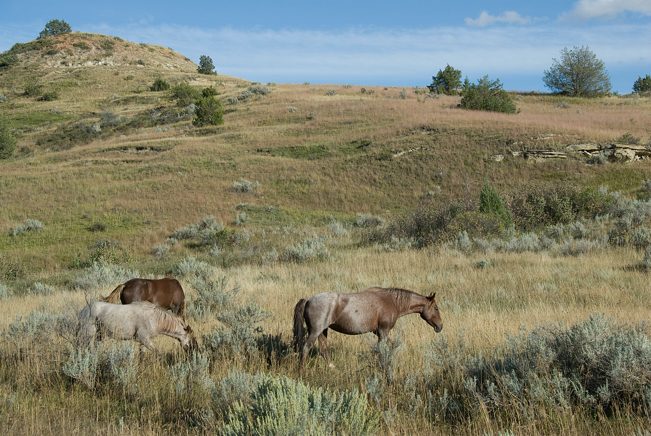 Wild horses in Theodore Roosevelt National Park, North Dakota