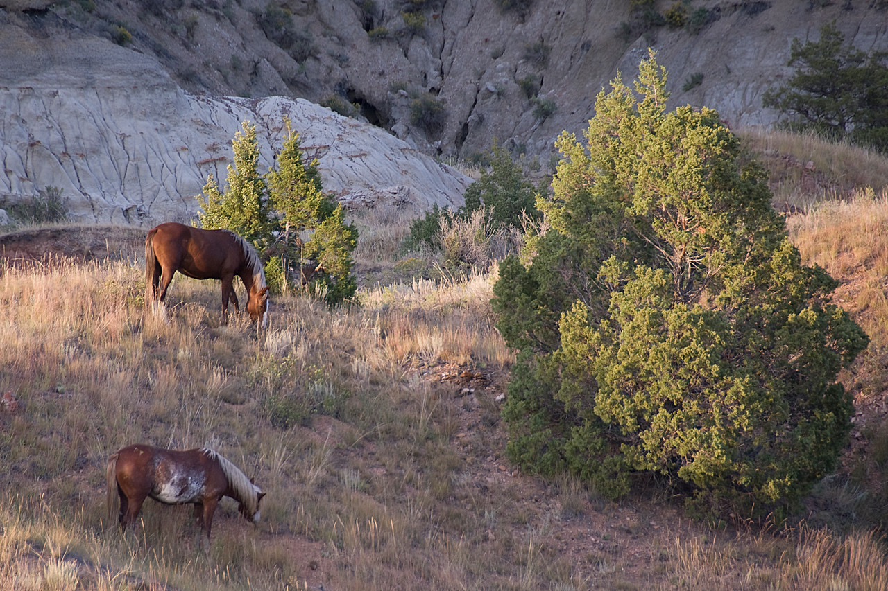 Horses grazing the field of Theodore Roosevelt National Park