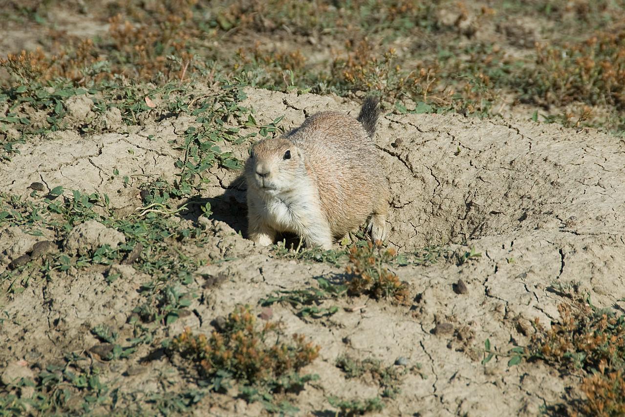 Wild squirrel in Theodore Roosevelt National Park