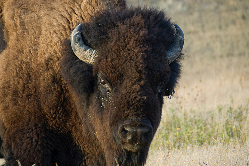 Bison in Theodore Roosevelt National Park - North Dakota