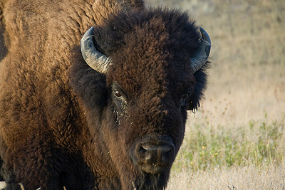 Bison in Theodore Roosevelt National Park - North Dakota