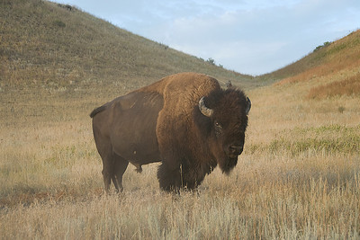 Bison roaming freely in Theodore Roosevelt National Park, North Dakota