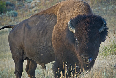 Bison roaming freely in Theodore Roosevelt National Park, North Dakota