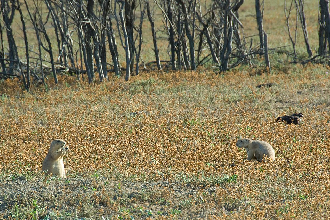 Wild squirrel in Theodore Roosevelt National Park, North Dakota