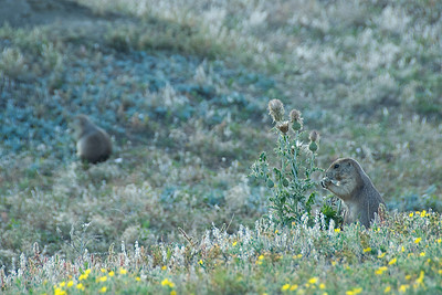 Squirrels in Theodore Roosevelt National Park, North Dakota