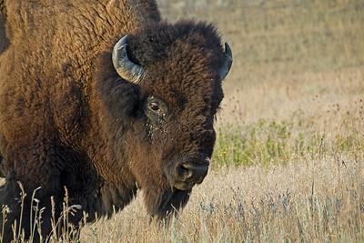 Bison in Theodore Roosevelt National Park, North Dakota
