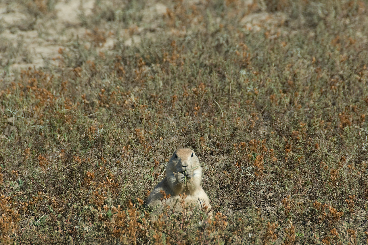 Wild squirrel in Theodore Roosevelt National Park