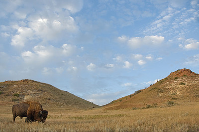 Bison and badlands in Theodore Roosevelt National Park, North Dakota