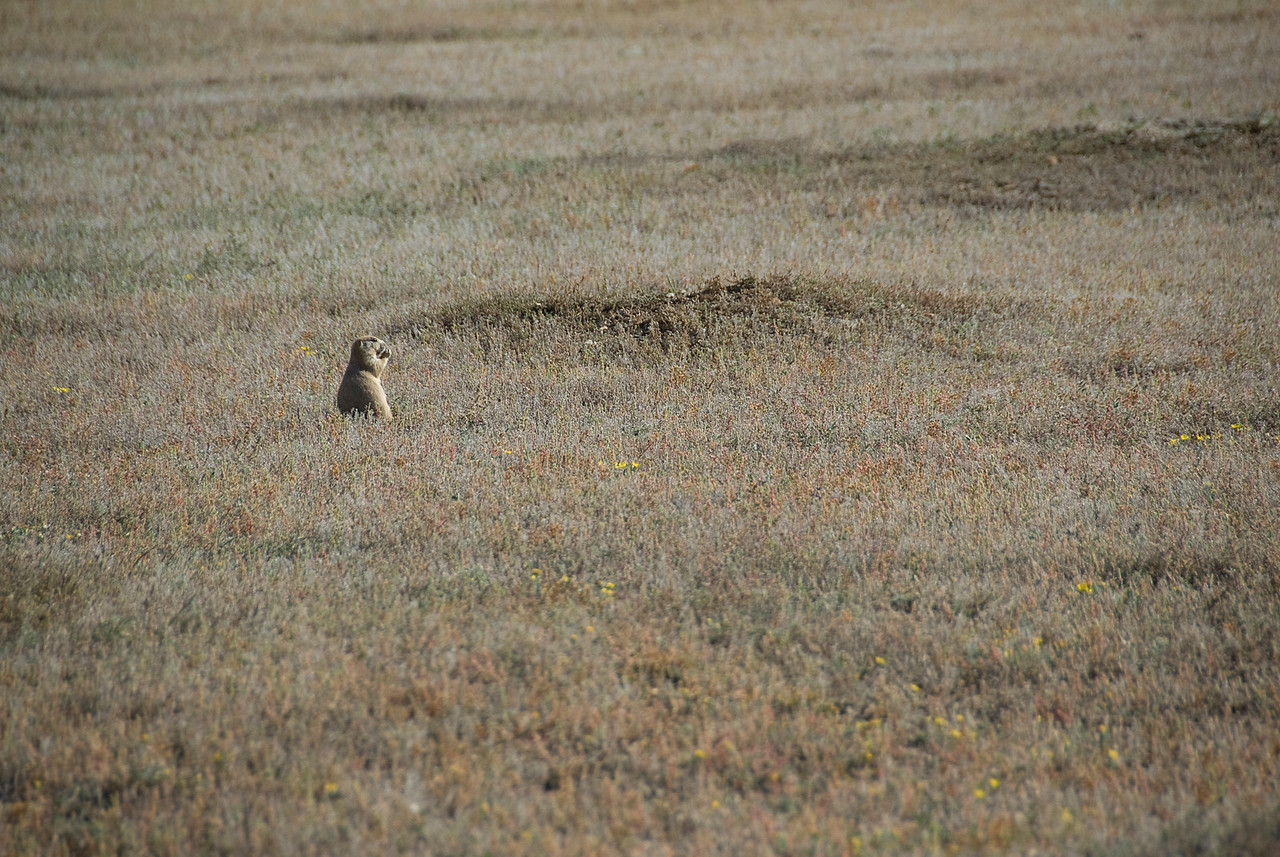 Wild squirrel in Theodore Roosevelt National Park, North Dakota