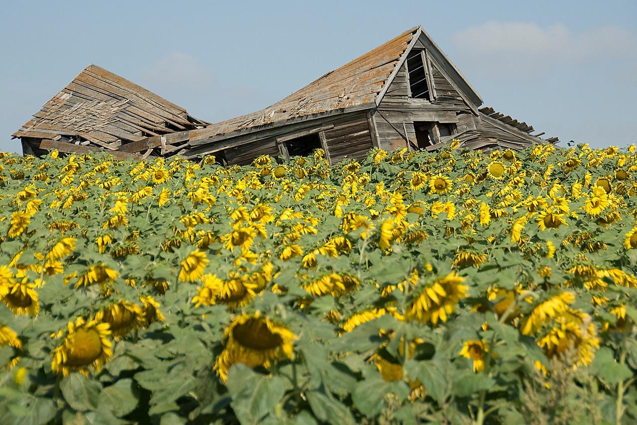 Massive field of sunflowers in Theodore Roosevelt National Park, North Dakota