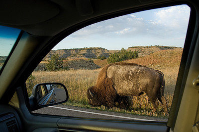 Driving by a bison at Theodore Roosevelt National Park in North Dakota