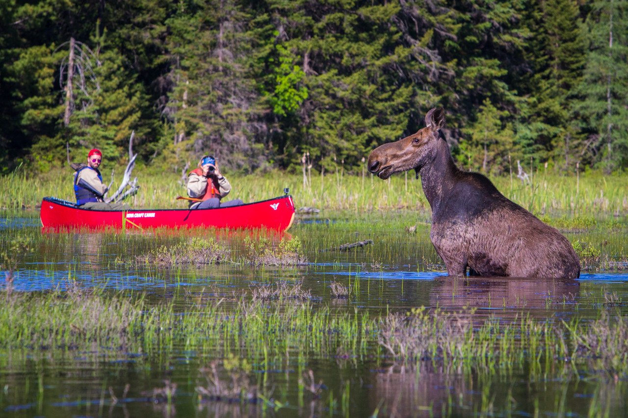The great Canadian Moose