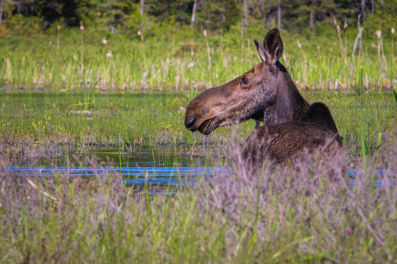Moose in Algonquin Park.