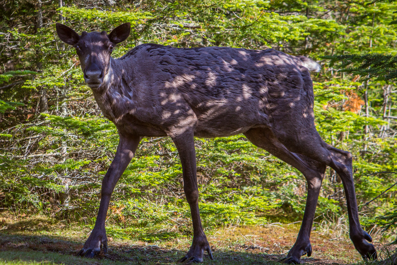 The Slate Islands are home to the largest concentration of Woodland Caribou