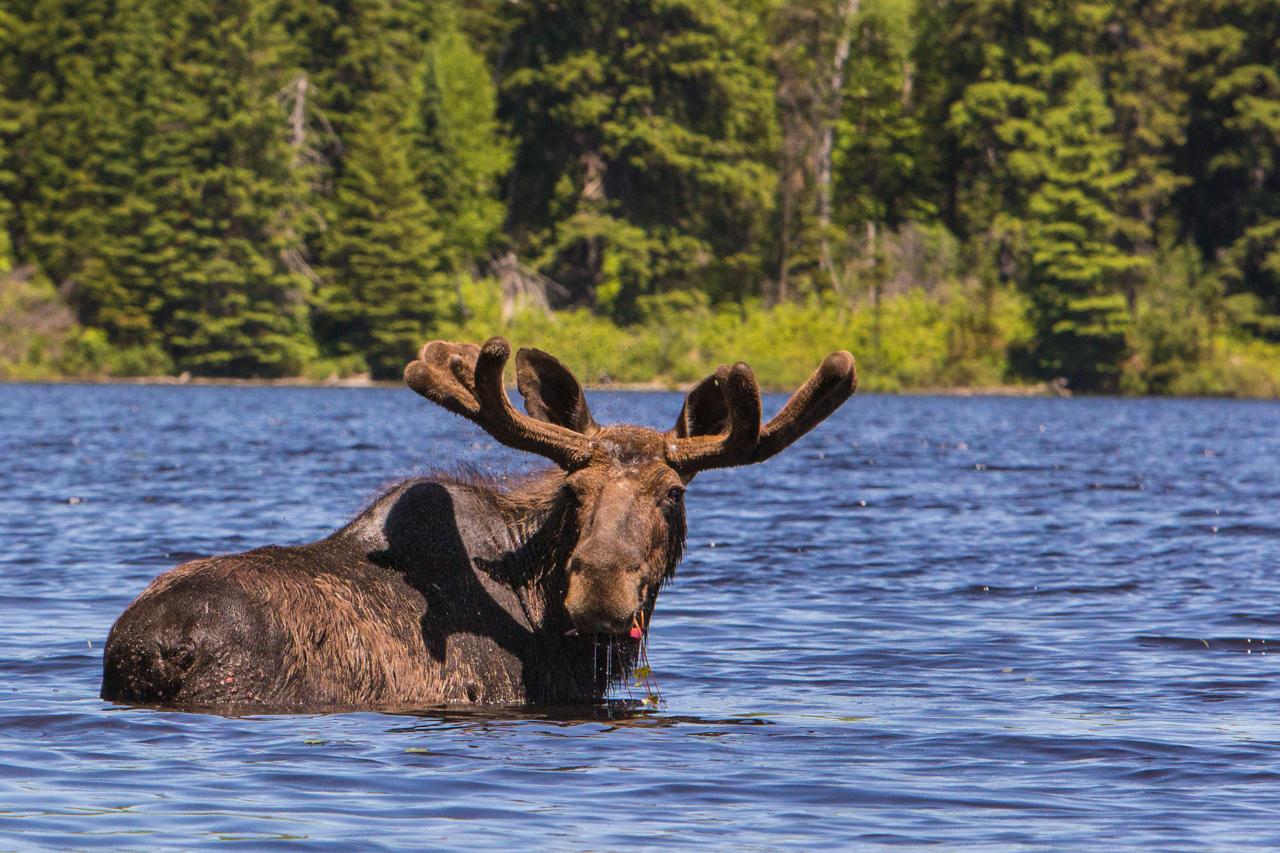 Moose Safari in Algonquin Park