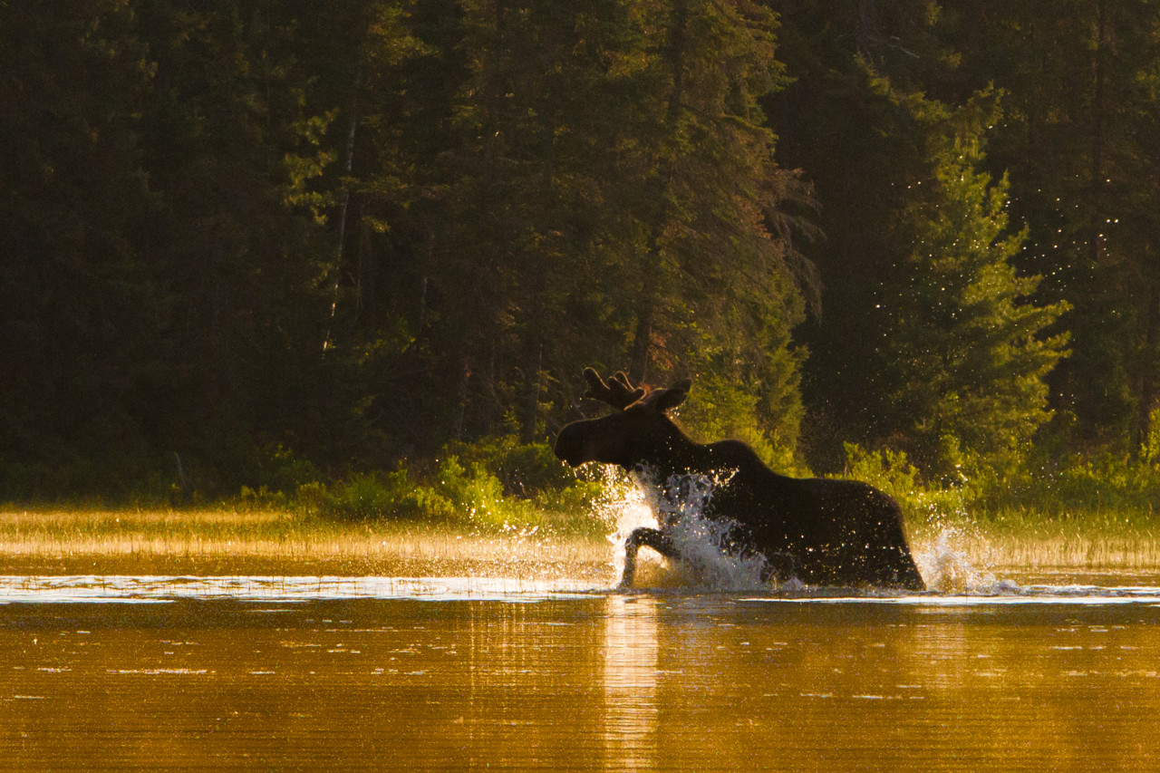 Those Moose can really move for such a large animal.