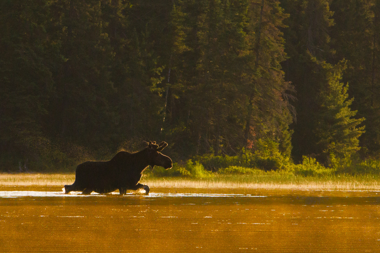 A Sunrise stroll for this Bull Moose