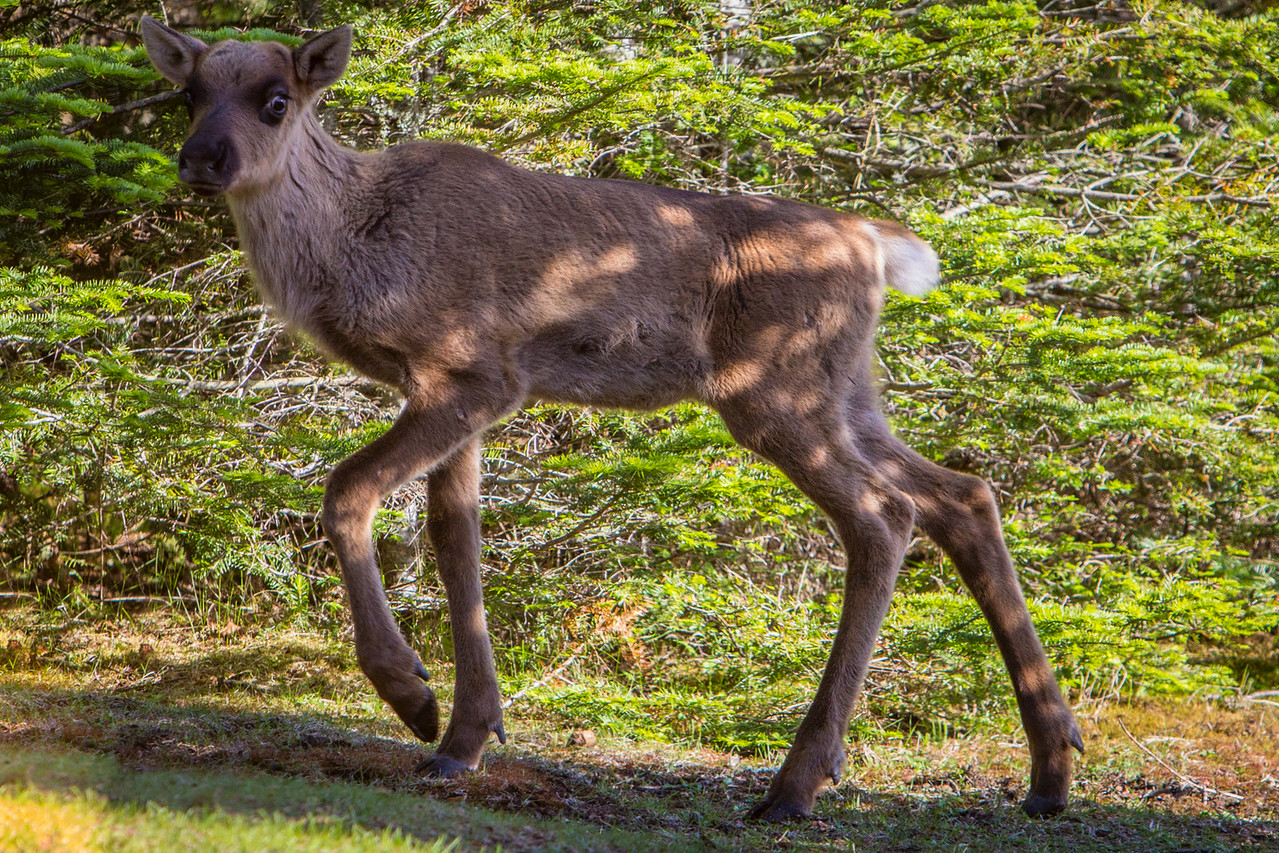A Woodland Caribou Calf walks right into our camp!
