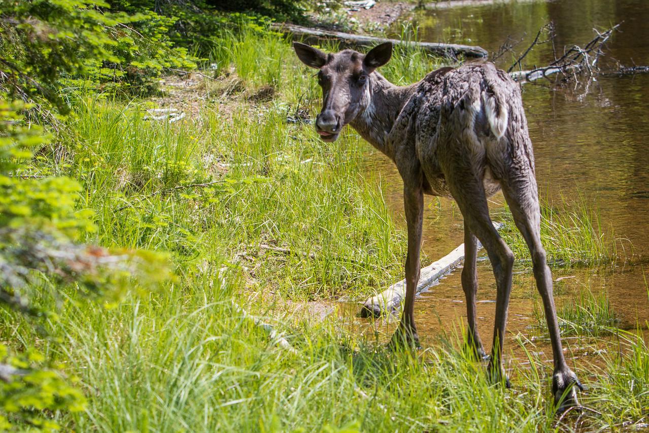 It seemed like Woodland Caribou were everywhere!