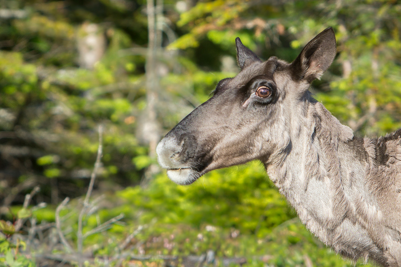 Up close and personal with the Woodland Caribou of the Slate Islands