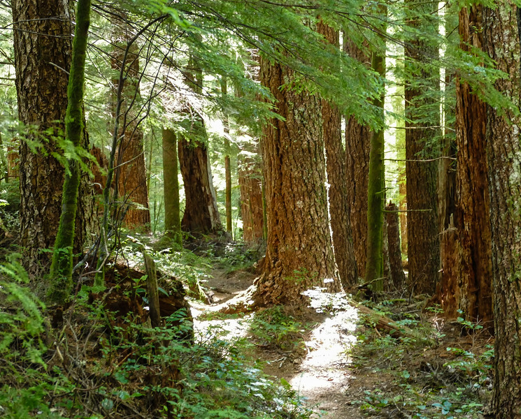 Trees in the old forest at Drift Creek Wilderness.