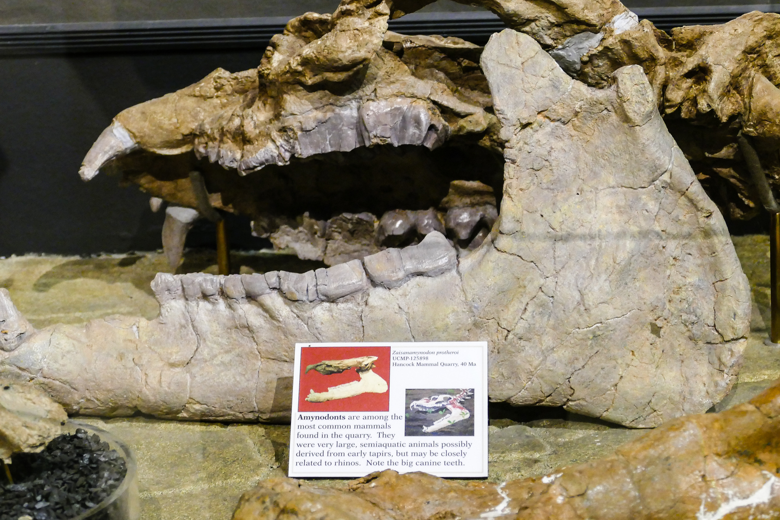 Boomer travel - Oregon - fossil displayed at Thomas Condon Paleontology Institute at John Day Fossil Beds National Monument.