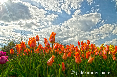 Orange Tulips HDR