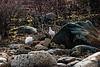 <center>Flock of Ptarmigans  <br><br>Churchill, Manitoba, Canada</center>