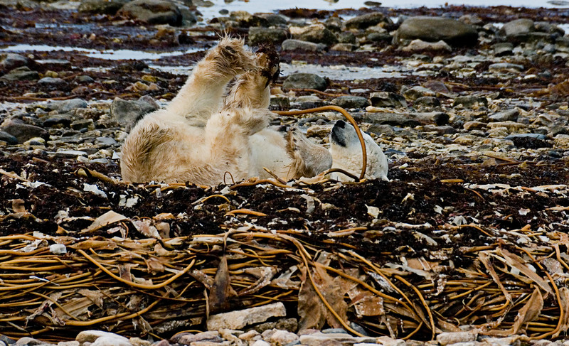 <center>Rolling in the Kelp  <br><br>Churchill, Manitoba, Canada</center>